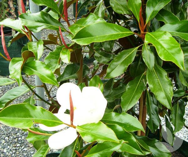 Gardengigs Blog - Top Trees Magnolia grandiflora 'Kay Parris' Flowering