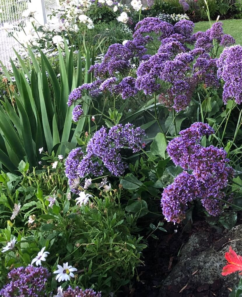 Gardengigs Gardening Designers Canberra Services - Lush and Blooming Violet Flowers
